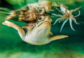 черепаха, осьминог, плавники, вода, океан