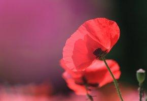 цветок, мак, красный, макро, стебель