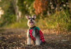 собака, взгляд, друг, язык, уши, лапы