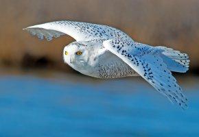 полярная сова, птица, крылья, полет, клюв, перья