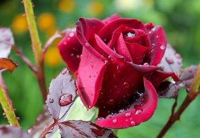 flower, rose, цветок, роза, капли, влага