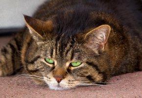 кот, отдыхает, зеленые глаза, уши, усы, хвост
