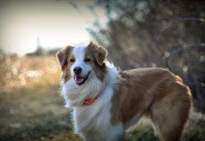 собака, взгляд, друг, шерсть, язык, зубы