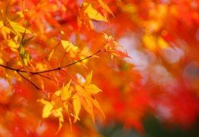 солнце, Осень, листья, дерево, желтые, клен
