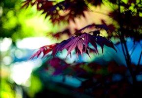 фиолетовый, листик, дерево, Макро, листочек