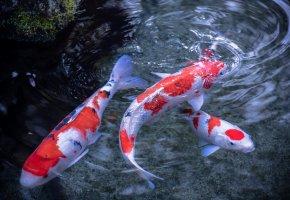 японский карп, кои, рыбы, вода, пятна, хвост, плавники