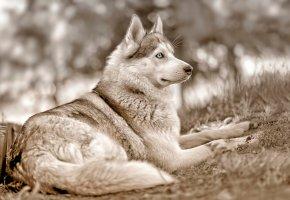 собака, сибирский хаски, голубые глаза, взгляд, поза