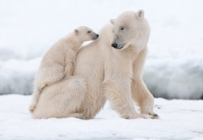 белые медведи, медведица, медвежонок, снег, взгляд, мех