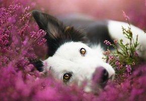 Обои собака, взгляд, друг, уши, цветы, нос