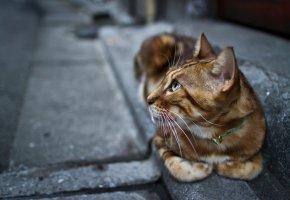 кот, взгляд, лапы, ошейник, усы, уши, глаза