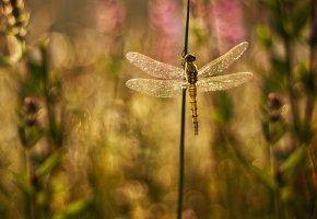 блеск, Растения, стрекоза, травинки, крылья