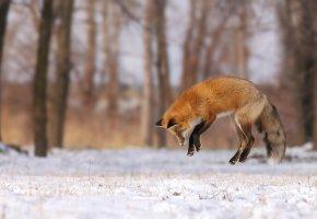 Обои лиса, охота, лес, зима, снег, прыжок, хвост