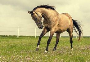 поле, Конь, природа, грива, хвост