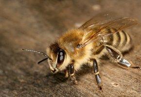 насекомое, лапки, усики, глаза, крылья, Пчела