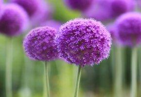цветок, бутон, поле, фиолетовые цветы, стебель, макро
