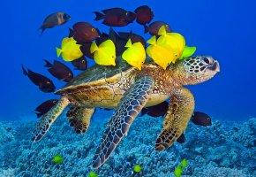 Обои Черепаха, жёлтые, океан, рыбки, стая