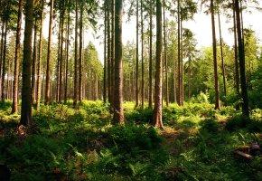 Обои лес, деревья, папоротники, листья, ветки
