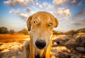 собака, пёс, нос, поза, взгляд, глаза