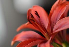 цветок, красота, лепесток, пестик, тычинки, лилия
