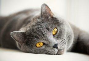 Обои Кошка, глаза, желтые, британец, серый, кот