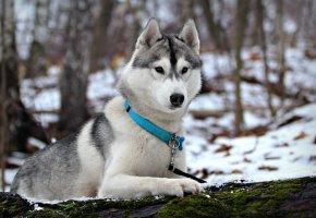 собака, хаски, зима, снег, шерсть, взгляд