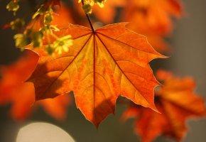 лист, клен, осень, листья, макро