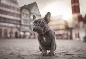 собака, бульдог, щенок, уши, взгляд, морда