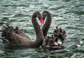 лебеди, черные, пара, вода, река, озеро, любовь