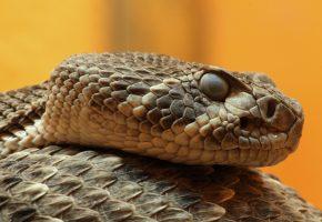 Гремучая, змея, глаза, чешуя