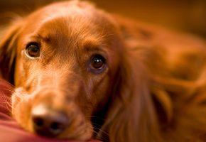 Обои собака, взгляд, друг, морда, нос
