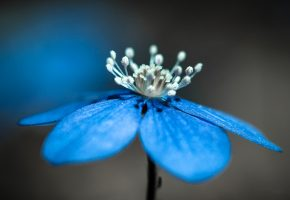 цветок, лепестки, тычинки, природа