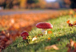 осень, Грибы, трава, мухоморы, листья