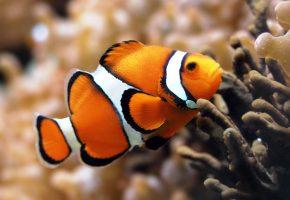 Обои рыба клоун, морские рыбки, кораллы, аквариум, дайвинг, рыбалка