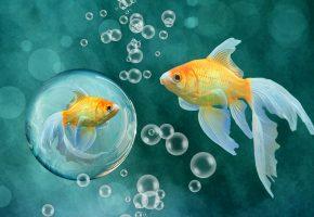 Обои рыбки, золотые, пузырьки, плавники