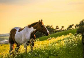 Обои лошадь, трава, поле, хвост, грива