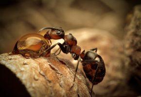Обои ants, water, муравей, капля, вода, усы, лапки, макро