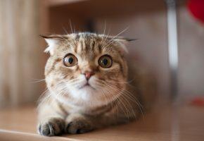 Обои взгляд, кошка, глаза, усы, уши