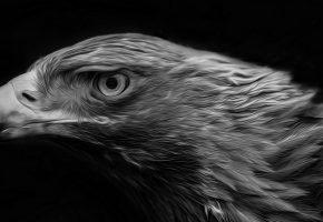 птица, красота, орел, черно белый, клюв, перья