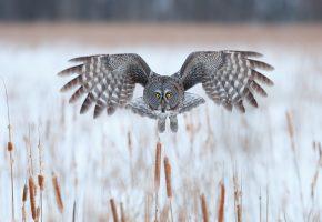 сова, зима, птица, красиво, крылья, полет