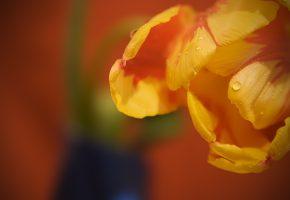 Обои капли, макро, лепестки, роса, тюльпан, бутон