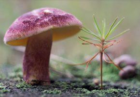 растение, гриб, шляпка, ножка, мох, лес