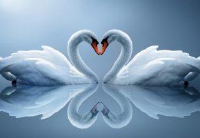 Обои белые лебеди, пара, отражение, сердце, перья