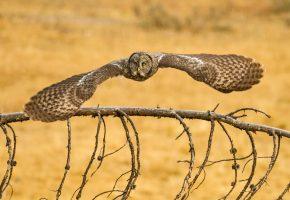 Обои Сова, птица, крылья, перья, полет, клюв