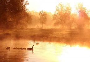 утро, туман, озеро, утки