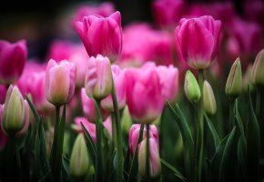 Обои тюльпаны, поле, бутоны, лепестки