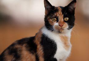 Обои взгляд, кошка, глаза, пятна, раскрас, усы, лапы, хвост