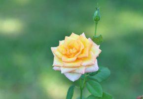 Обои цветок, роза, бутон, лепестки