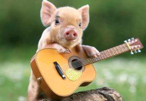 Обои свинка, гитара, пяточек, ушки, глаза, копытца
