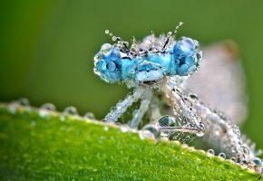 Обои насекомое, стрекоза, роса, капли, глаза, лапки