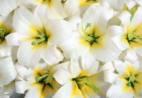 цветы, белые, лепестки, тычинки, пестик